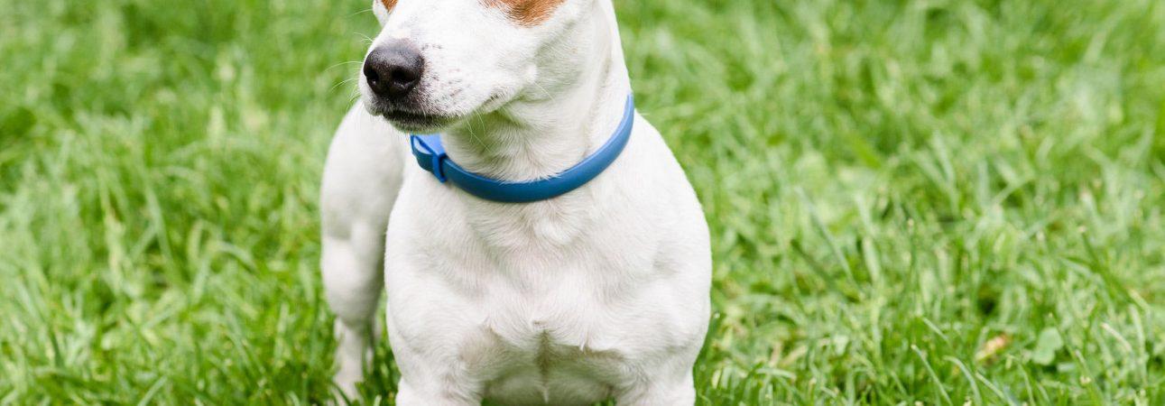 pets-flea-collar-poisoning